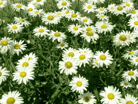 Marguerite - Meadow Stock Photo - 12875005