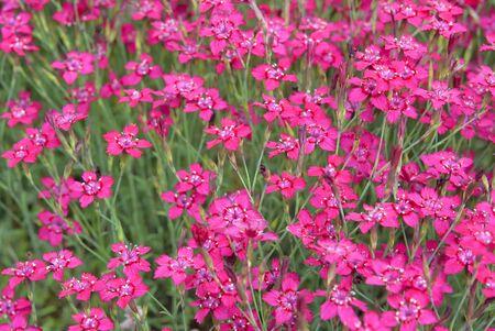 Dianthus - La Bourboule