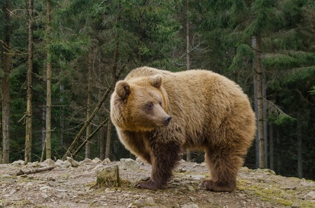 forthcoming: A big brown bear is looking for a forthcoming spring