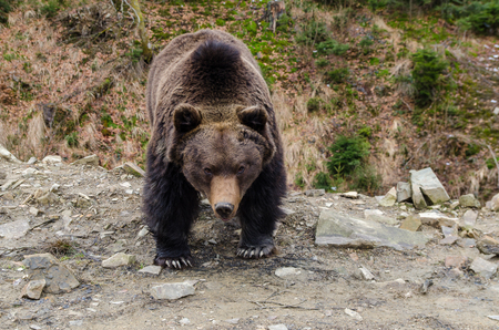 waddling: Sometimes brown bears can look very severe