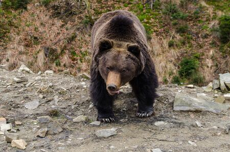waddling: Emotins of wild brown bear sometimes can be very unexpected.