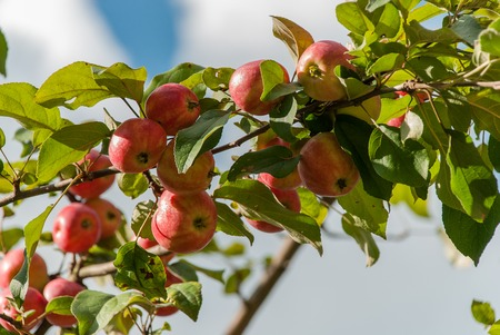 backgraound: Ripe apples on a bush with green leaves on sky backgraound Stock Photo