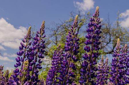 Old garden with spring violet lupine field Stock Photo