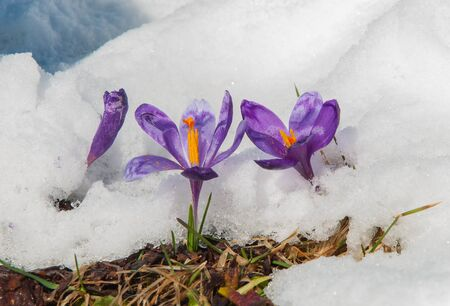 Spring crocuses flowering from the snow towards spring sun Stock Photo