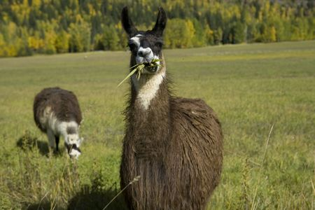 Lovely Autumn colors with to Llama grazing in the field. Stock Photo - 2858785