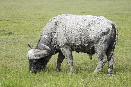 Close up of a Cape Buffalo in Tanzania Stock Photo