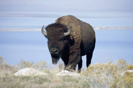 Buffalo with the Great Salt Lake behind
