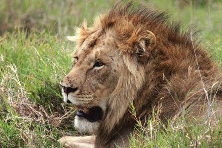 Side profile close up of lion in the Serengeti