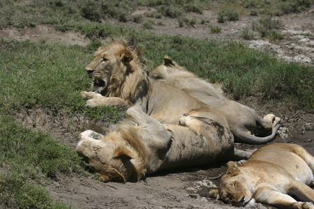 A pride of lions resting during the day