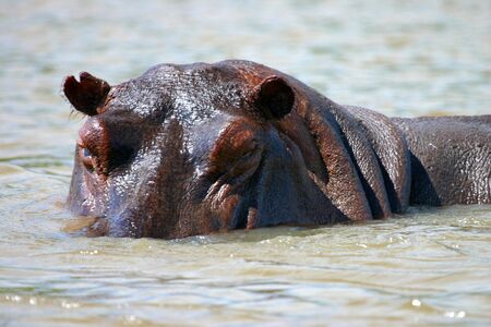 A close up of a hippo on the Rufiji River in the Selous Southern Tanzania Stock Photo
