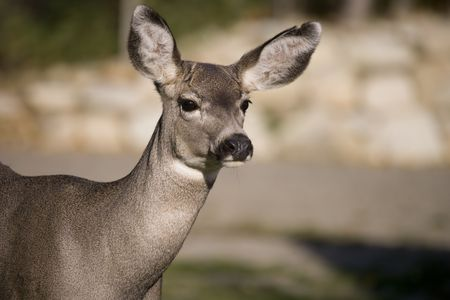 Mule deer close up photo