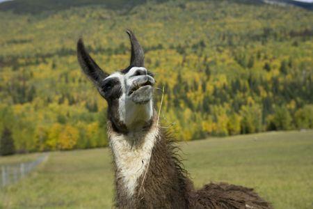 oiseau mouche: Lama regarder un oiseau voler au-dessus la t�te  Banque d'images