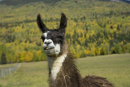 Llama have such interesting looks