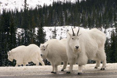 mountain goats: Capre di montagna in Jasper parco nazionale