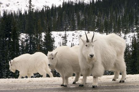 billy goat: Mountain Goats in Jasper National Park