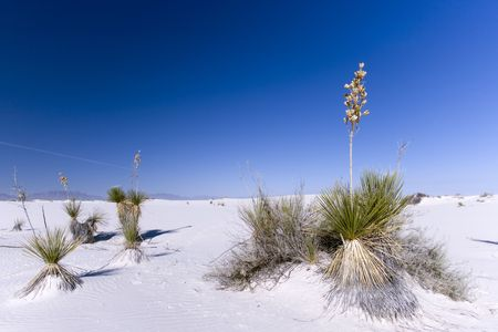 Plants surviving in the white sand desert trying not to be covered during wind storms. Stock Photo - 2868144