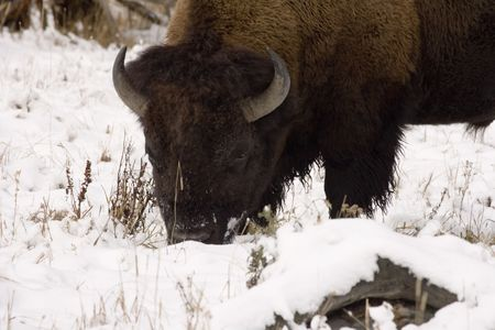Bison using his big head to push snow around trying to eat Stock Photo