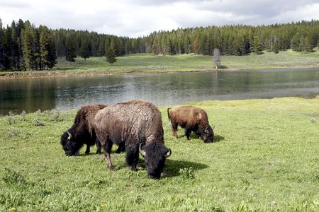 Bison grazing of open grass area with the Yellowstone River behind.