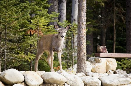 Young deer standing on a rock wall looking around