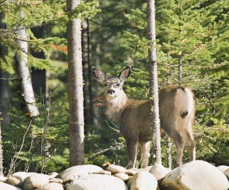 Young deer standing on a rock wall looking around Stock Photo - 2868153