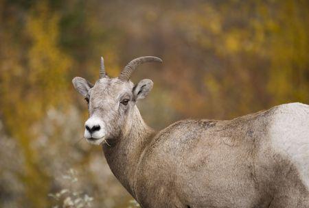 bighorn sheep: Bighorn pecore in Jasper Alberta Canada