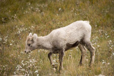 Young Bighorn Sheep in Jasper Alberta Canada photo