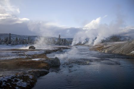 Buffalo grazing in by a steaming  geyser