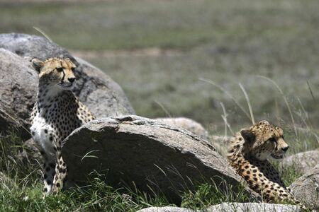 Young Cheetahs looking for their mother