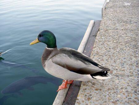 Duck on the edge of lake Фото со стока