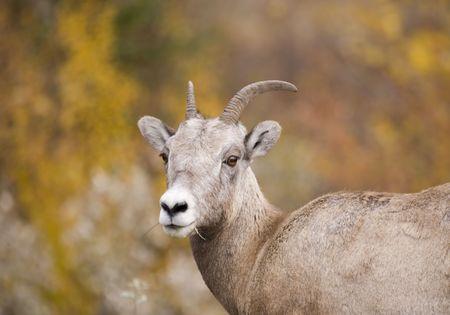 rocky mountain bighorn sheep: Bighorn Sheep in Jasper Alberta Canada
