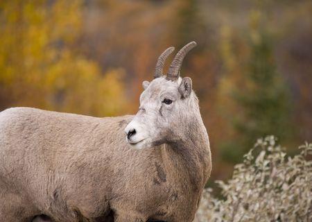bighorn sheep: Bighorn Sheep in Jasper Alberta Canada