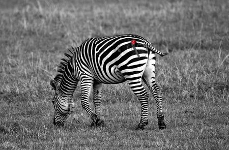 This zebra was attacked by a lion but was able to escape