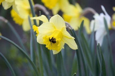 Bumble Bee pollinating flowers Banco de Imagens