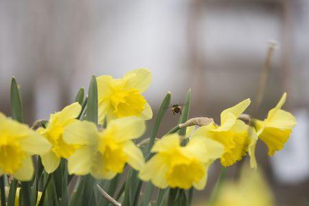 Bumble Bee pollinating flowers Фото со стока - 3200233