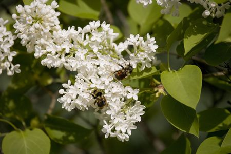 Bumble Bees pollinating flowers Banco de Imagens