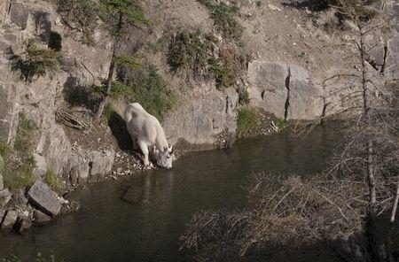 berggeit: Billy Mountain Goat drinken uit meer