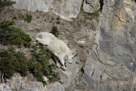 Billy Mountain Goat going down cliff, Jasper National Park Stock Photo