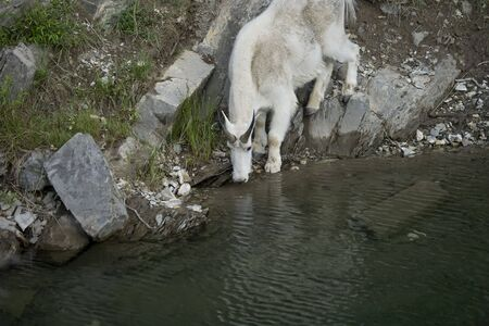 billy: Billy Mountain Goat drinking from lake