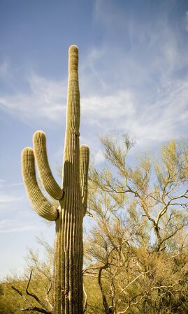 Single Saguaro Cacti in the Arizona desert Stock Photo