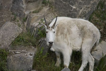 Close-up of Billy Mountain Goat on cliff edge of cliff