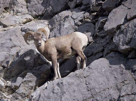 Bighorn Sheep in Jasper Alberta Canada photo
