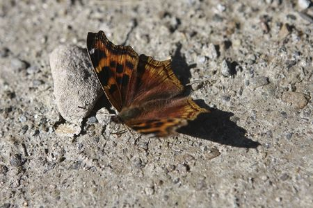 Butterfly with wings apart for last ray of sun Stock Photo
