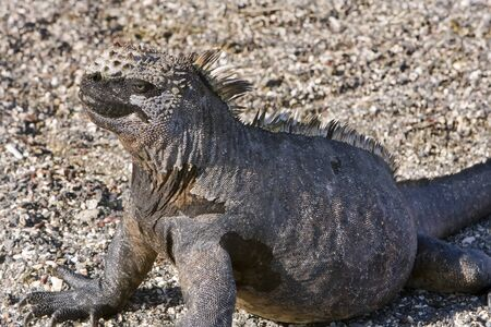 A Marine Iguana in the sun on the Galapagos Islands, Ecuador, South America Stock Photo