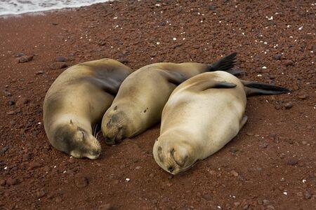 Drie zwangere zee leeuwen wachten om geboorte te geven op de Galapagos eilanden. Ecuador, Zuid-Amerika