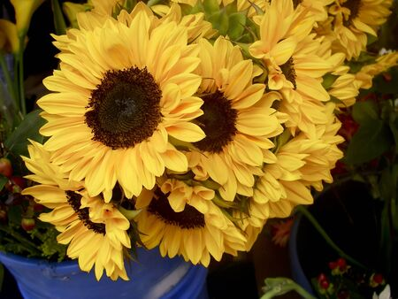 Sunflowers in a blue potted found in an Ecuador market Stock Photo