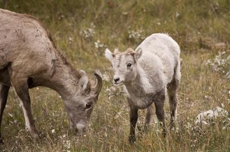 rocky mountain bighorn sheep: Young Rocky Mountain Bighorn Sheep