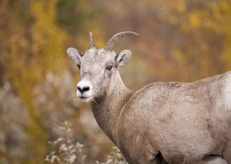 bighorn sheep: Pecora delle Montagne Rocciose Bighorn