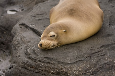 Sea lion on Galapagos Islands