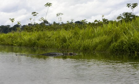 Large 12 foot Caiman in the Amazon