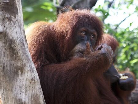 A close up portrait of the king of the primates, the Orangutan Stock Photo